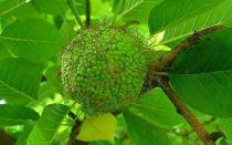 Адомово яблоко: как применять, чем полезно и рецепт приготовления