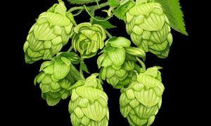 Что такое хмелепродукты в пиве — классификация, польза и вред