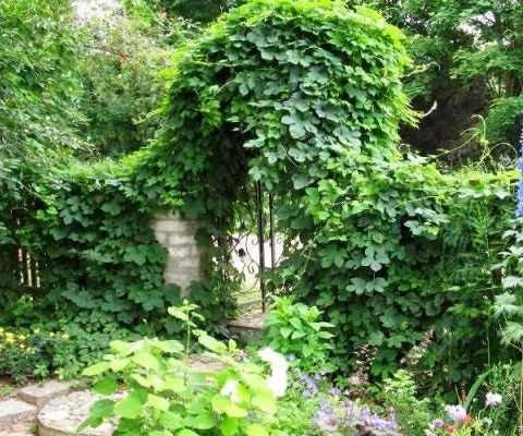 изгородь из хмеля